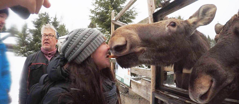 a woman nuzzles a moose
